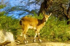 Nubijska koziorożec w Sde Boker pustynia negew obraz stock