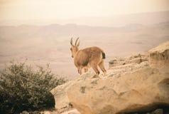 Nubijska koziorożec Zdjęcie Royalty Free
