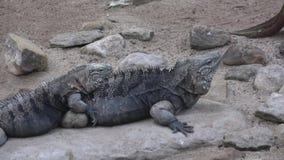 Nubila cubano de Cyclura de la iguana de la roca almacen de metraje de vídeo