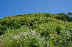 Woman in a large hat stands among profusion of wildflowers on hill. Nuchatliz Provincial Park, British Columbia, June 27, 2018: Woman in a large hat stands among royalty free stock photography