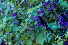 Nucić ptaka na Pięknej roślinie z fiołkiem kwitnie w Puerto Madero Obrazy Royalty Free