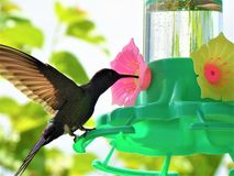 Nucić ptaka obraz royalty free