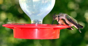 Nucić ptasią parę Zdjęcia Stock