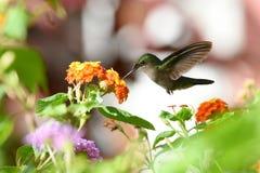 Nucić ptaka Zdjęcie Stock