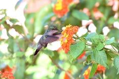 Nucić ptaka Obrazy Royalty Free
