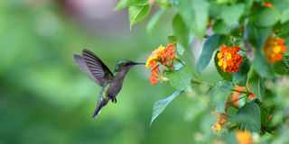 Nucić ptaka Obrazy Stock