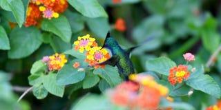 Nucić ptaka Fotografia Stock
