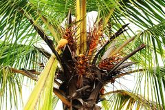 Nucifera de cocos d'arbre de noix de coco photos libres de droits