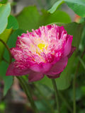 Nucifera de Lotus o del Nelumbo Foto de archivo libre de regalías