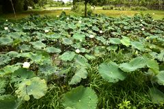 Nucifera do Nelumbo das plantas e das flores de Lotus Fotografia de Stock Royalty Free