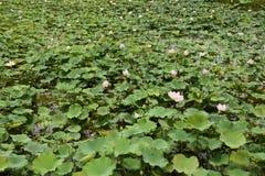 Nucifera do Nelumbo das plantas e das flores de Lotus Fotos de Stock