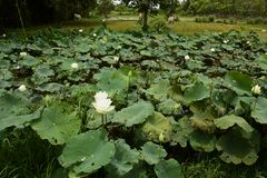 Nucifera do Nelumbo das plantas e das flores de Lotus Foto de Stock