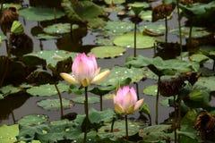 Nucifera do Nelumbo das plantas e das flores de Lotus Imagens de Stock Royalty Free