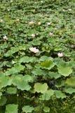 Nucifera do Nelumbo das plantas e das flores de Lotus Imagens de Stock