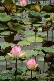 Nucifera do Nelumbo das plantas e das flores de Lotus Imagem de Stock Royalty Free