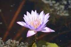Nucifera Nelumbo, индийский лотос Стоковые Фотографии RF