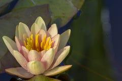 Nucifera Nelumbo, также известное как индийский лотос, священный лотос, фасоль Индии Стоковые Фото