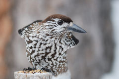 Nucifraga caryocatactes (Spotted Nutcracker)) stock photo