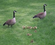 Nuclear Goose Family. Two goose parents stand guard over their young ones royalty free stock photos