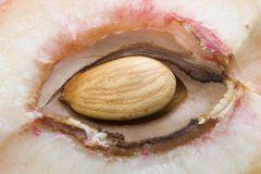 Nucleus of a peach Royalty Free Stock Images
