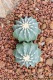 Nuda forma glaucescens Ferocactus Стоковые Изображения RF