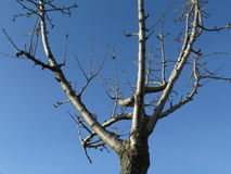Nude tree. Tree with nude branches and blue sky in the background Stock Photo