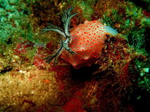 Nudi branch Stock Image