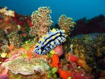Nudi dans une forêt de corail molle Photo libre de droits