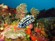 Nudi in a soft coral forest royalty free stock photo
