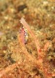 """Nudibranch†""""Flabellina exoptata Royalty-vrije Stock Foto's"""