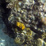 Nudibranch无脊椎关闭 库存图片