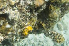 Nudibranch无脊椎关闭 免版税库存图片