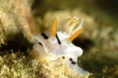 Nudibranch, Kapalai海岛,沙巴 库存图片