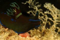 Nudibranch, Kapalai海岛,沙巴 免版税库存照片