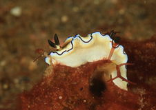 Nudibranch – Black-margined glossodoris royalty free stock photos