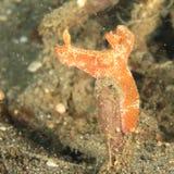 Nudibranch – Ceratosoma gracillimum Royalty Free Stock Images