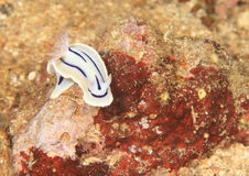 Nudibranch – Chromodoris lochi Royalty Free Stock Photos