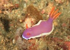 Nudibranch – Noumea romeri Royalty Free Stock Image