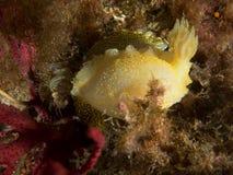 Nudibranch με τη μακροεντολή κάτω από τη θάλασσα στοκ εικόνες