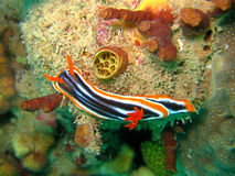 nudibranch πυτζάμα Στοκ φωτογραφίες με δικαίωμα ελεύθερης χρήσης