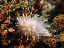 nudibranch алебастра Стоковое Изображение RF