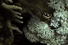 Nudibranch, коралловый риф стоковые фотографии rf