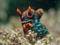Nudibranch на коралле Стоковая Фотография