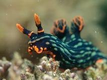 Nudibranch на коралле Стоковые Фотографии RF
