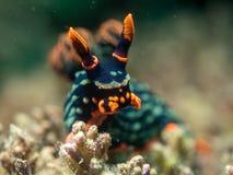 Nudibranch на коралле Стоковое Изображение RF