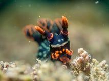 Nudibranch на коралле Стоковые Изображения RF