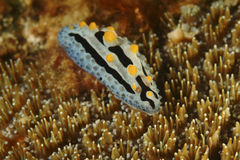 Nudibranch, остров Kapalai, Сабах Стоковые Фотографии RF