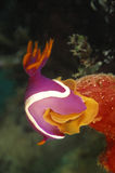 Nudibranch, остров Mabul, Сабах Стоковая Фотография