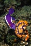 Nudibranch, остров Mabul, Сабах Стоковые Фотографии RF