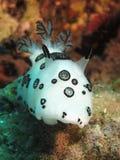 Nudibranch погребального костра Стоковые Изображения